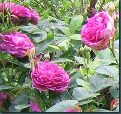 Rosa Violettes