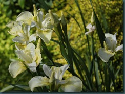 Iris s. 'Butter and Sugar'