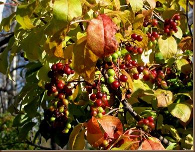 Ripening berries2