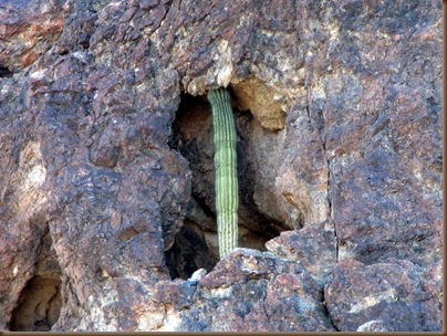 Strange place for a saguaro2