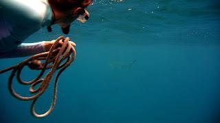 Schnorcheln bei Isla Manuelita. Hammerhai (Mitte rechts).