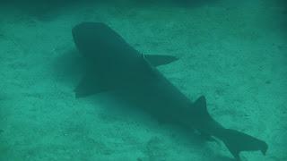 Weißspitzenhai, schnorcheln in Chatham Bay.