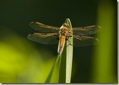 4 Spotted_Chaser