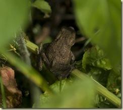 little froggie 3 ex