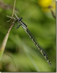 female damsel 5