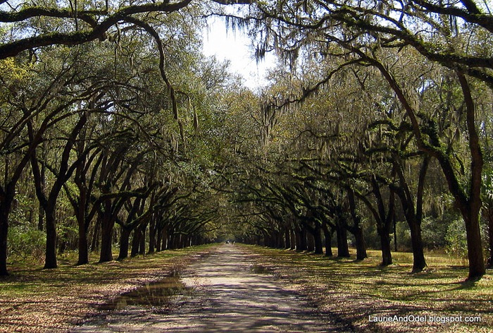 Over 400 oaks line the lane to the plantation house.