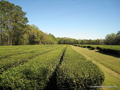 Tea bushes in the fields