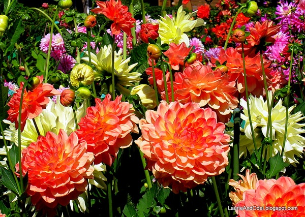 Dahlias blooming at Shore Acres State Park