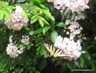 Butterfuly poses on a Mountain Laurel