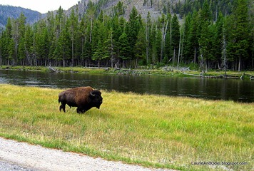 Bison walking along the road