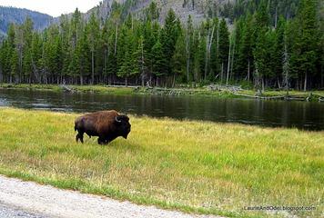 Bison walking along the road