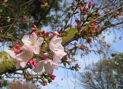 Blossoms in Sacramento