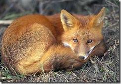 raposo_durmindo