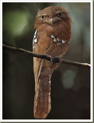 IndochineseFrogmouth
