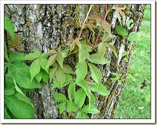 virginia_creeper_large