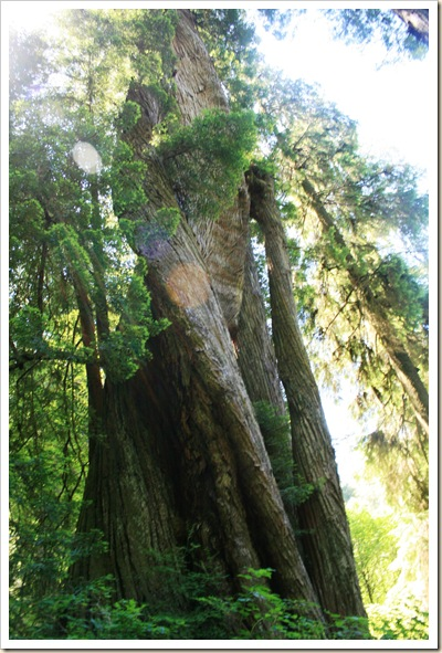 Corkscrew Redwood