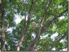 Huge Wasps Nest (8) (Medium)