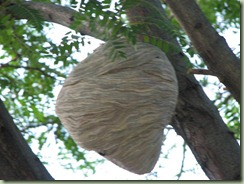 Huge Wasps Nest (3) (Medium)