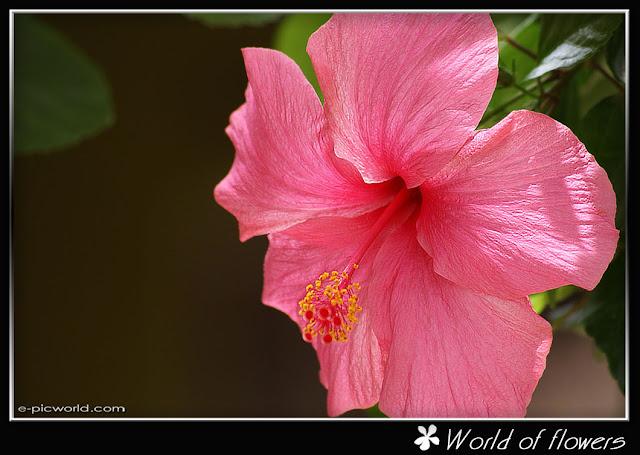 Pink Hibiscus Rosa wallpaper