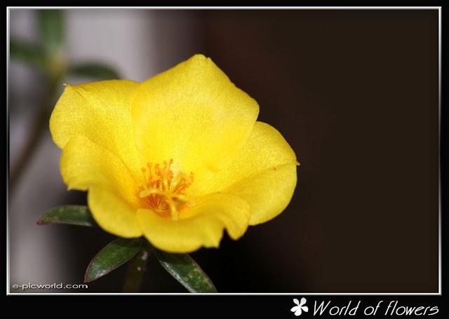 bunga seri pagi flower picture