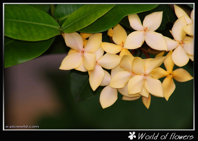 Yellow Ixora flower picture