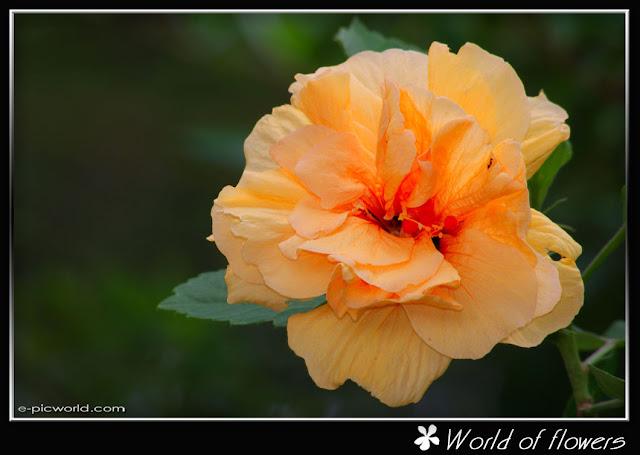 hibiscus flower picture