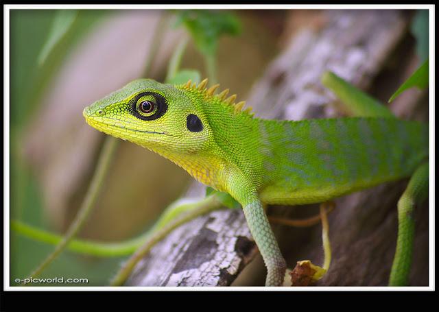 lizard picture