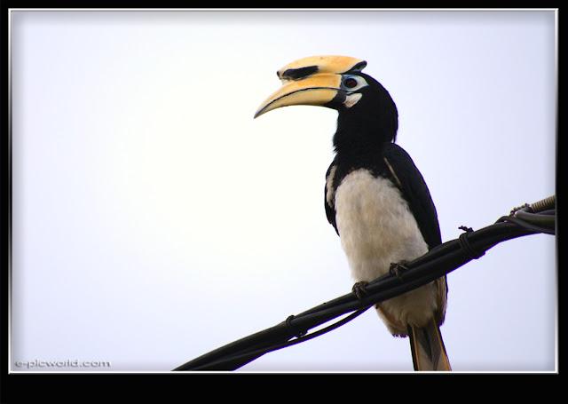 hornbill bird picture