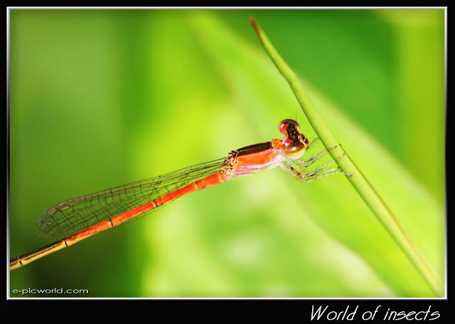 damselfly  picture