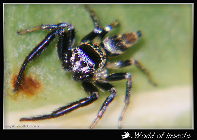 jumping spider picture