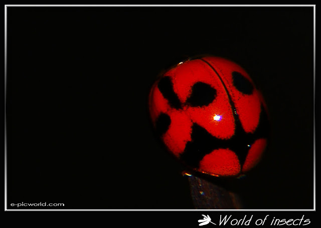 Beetle - Lady bug picture