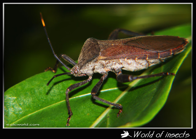 shield bug picture