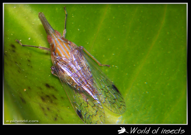 treehopper picture