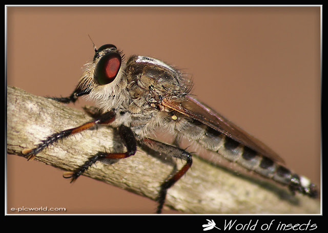 robberfly picture