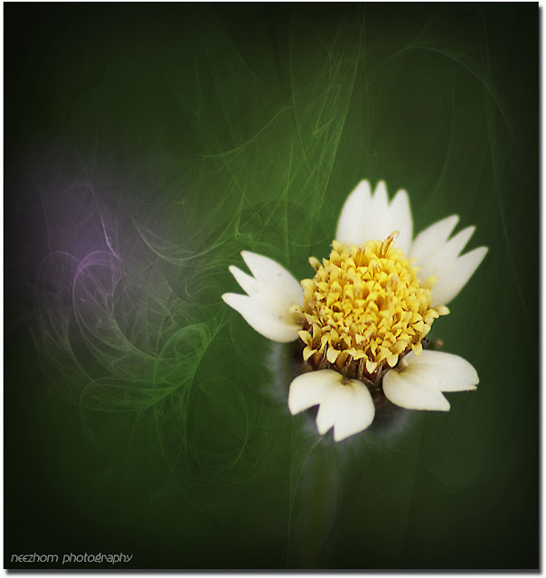 a daisy species flower picture