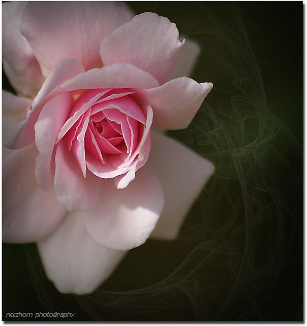 a pink rose picture