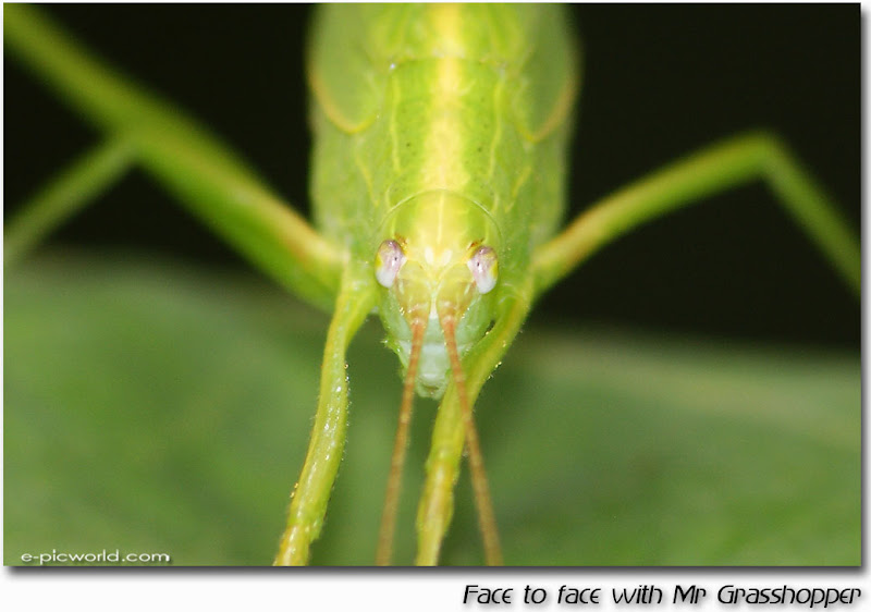 Face to face with Mr Grasshopper picture