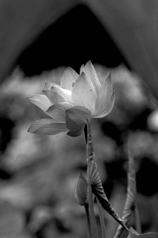 植物園-陰雨拍荷