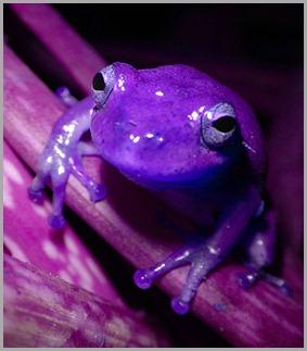 purple-frog