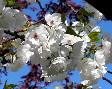 White-Blossom-2
