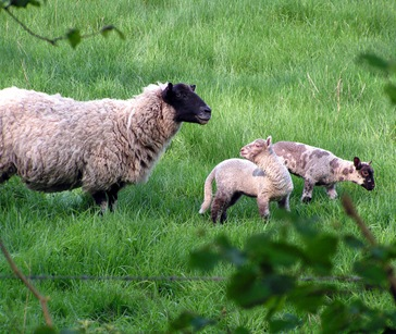 Sheep-And-Lambs-2