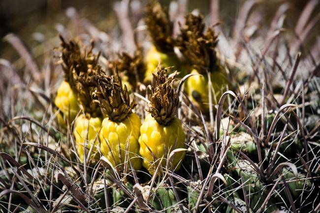 Pineapple Cactus Flowers