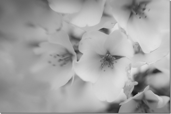 Cherry Blossoms - Lensbaby Macro Black and White-4