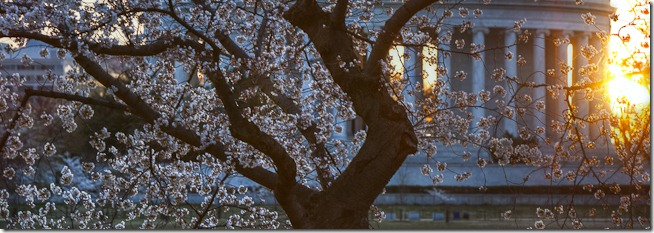 Washington Cherry Blossoms at Sunrise-2