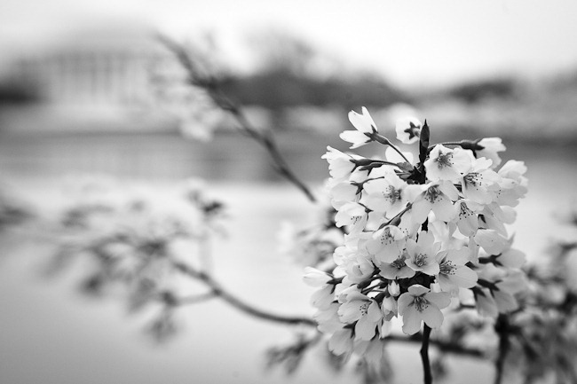 Cherry Blossoms and Jefferson - Lensbaby-2