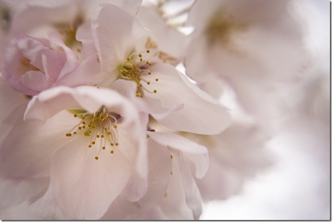 Cherry Blossoms - Lensbaby Macro Color-7