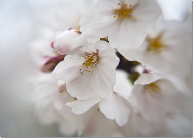 Cherry Blossoms - Lensbaby Macro Color-3