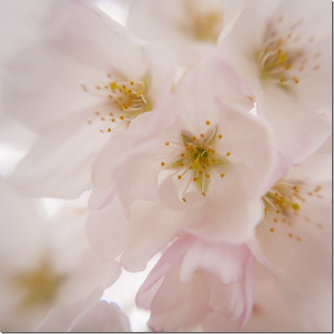 Cherry Blossoms - Lensbaby Macro Color-6