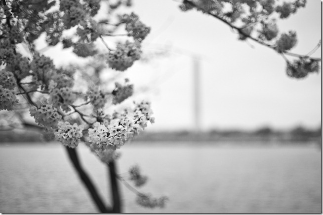 Cherry Blossoms Black And White 1