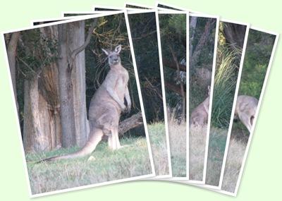 View Kangaroos in the park - Halls Gap VIC